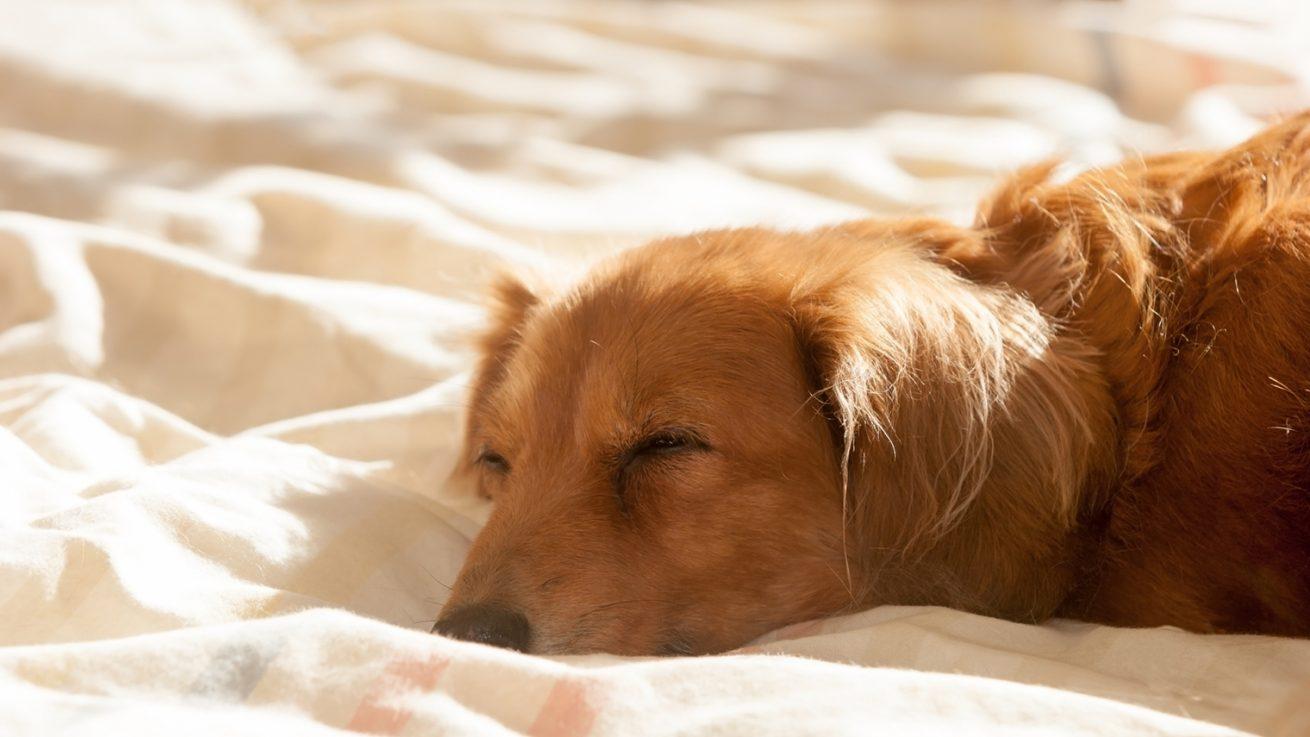 犬の認知症の症状や、予防・対策方法