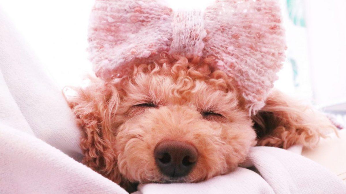 【獣医師監修】犬の避妊・去勢手術とメリットデメリットについて ドッグパッド DOGPAD