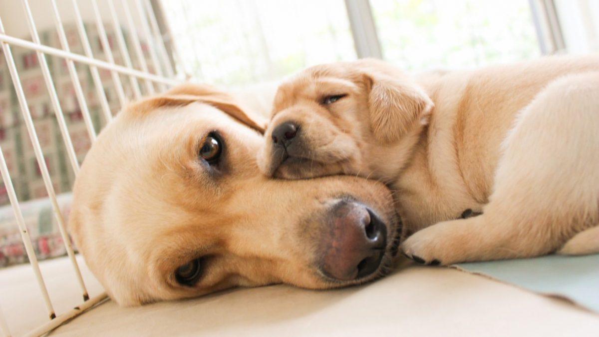 ブリーダーとは、犬を繁殖させて販売する第一種動物取扱業の登録を行なっている業者のことです