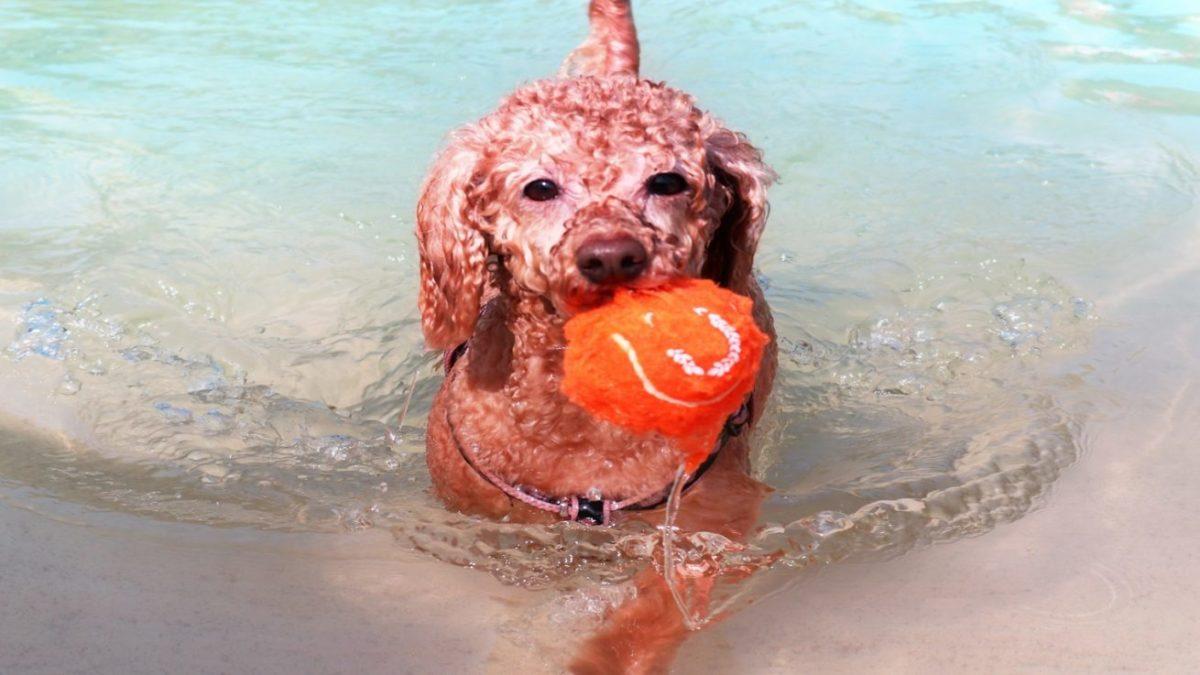 犬が水を怖がる理由は?水遊びが楽しくなる対策をご紹介