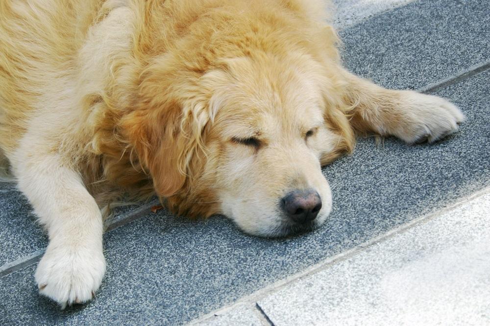犬の熱中症、死亡や後遺症の恐れも