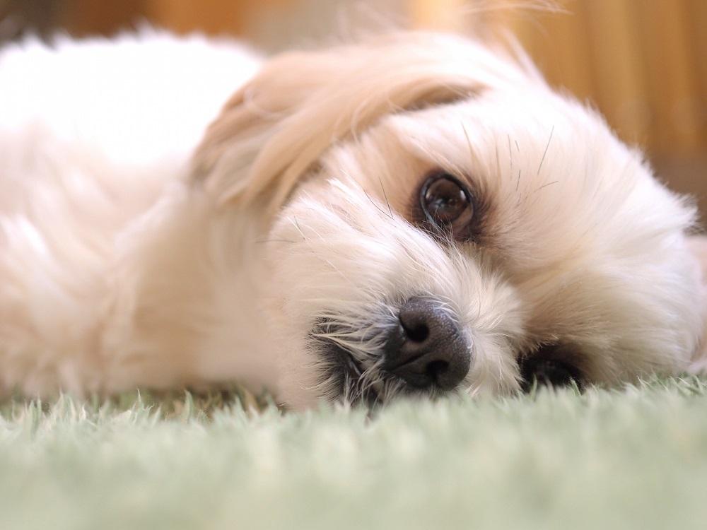 音楽を使って犬をリラックスさせることができる