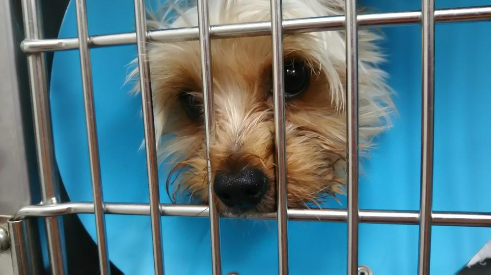 犬の去勢手術、メリットとデメリット