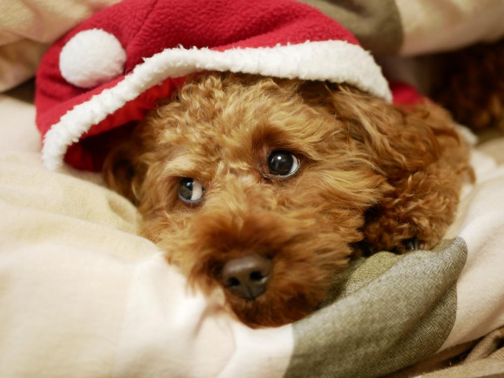 年末年始は人間も犬も胃腸が疲れやすい?!