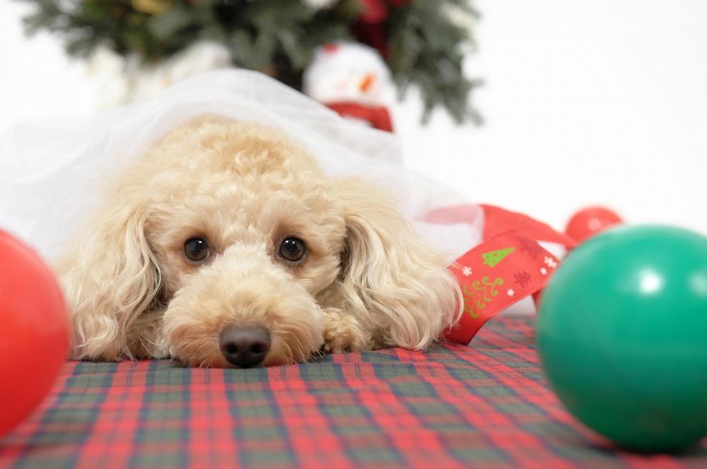 もうすぐクリスマス!愛犬が喜ぶものをプレゼントしよう