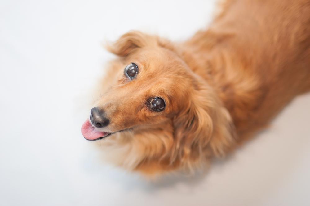 犬サプリメントで愛犬の目のケアをはじめませんか?