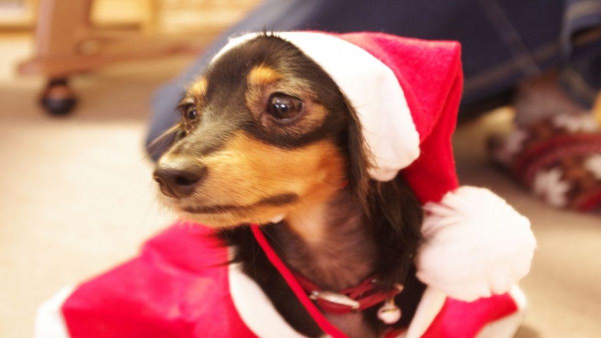 ワンちゃんも喜ぶ♪原材料にこだわった犬用クリスマスケーキ5選
