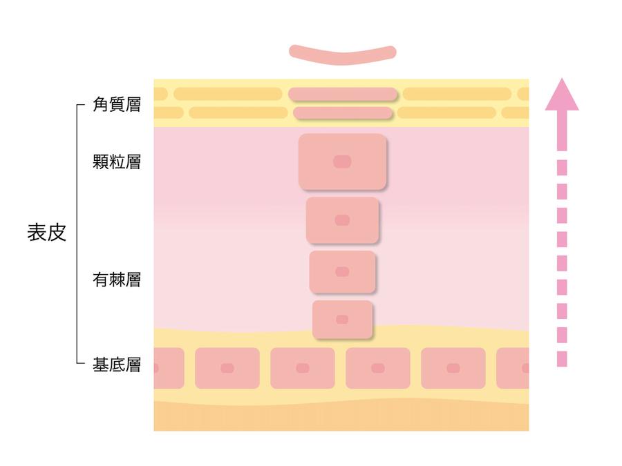 皮膚のターンオーバー