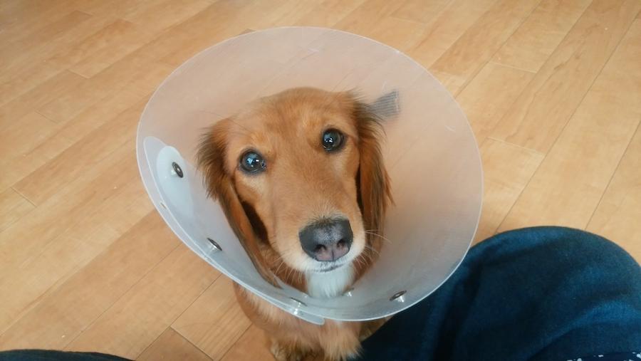 愛犬に適したエリザベスカラーを