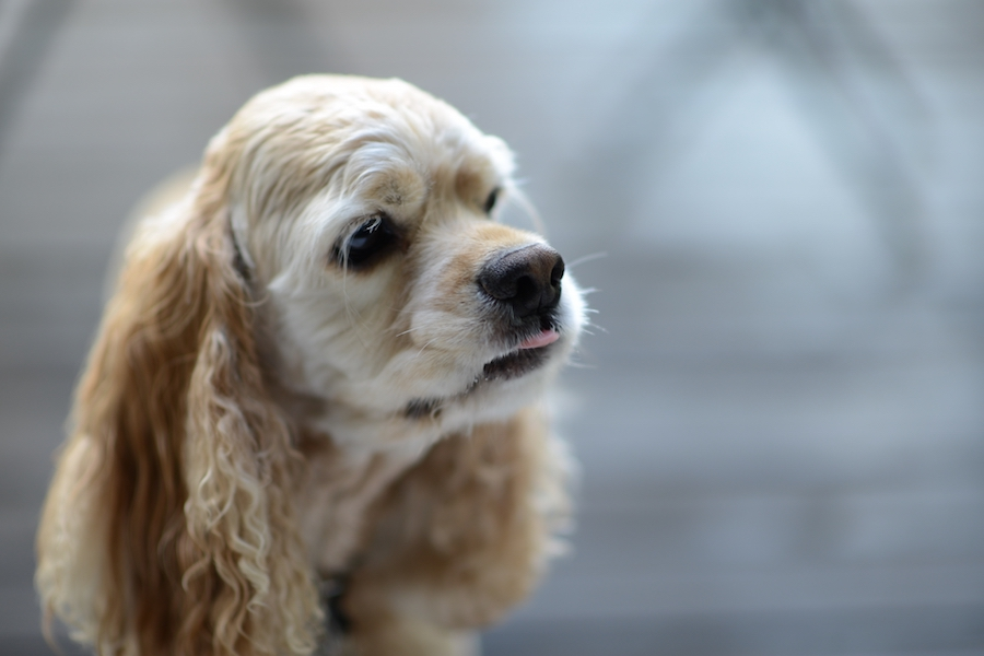 犬のマイボーム腺腫ができる原因