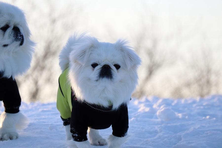 雪遊びをする際に犬に洋服を着せた方がいいの?
