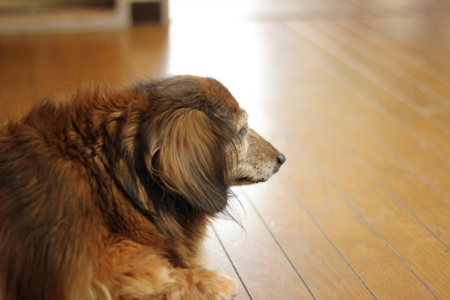 シニア犬は足腰の異変に気がついていてもそのままになりがち