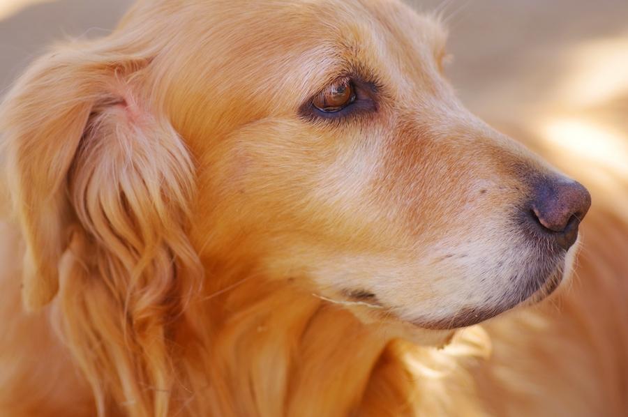 犬は目をしょぼしょぼさせることがある
