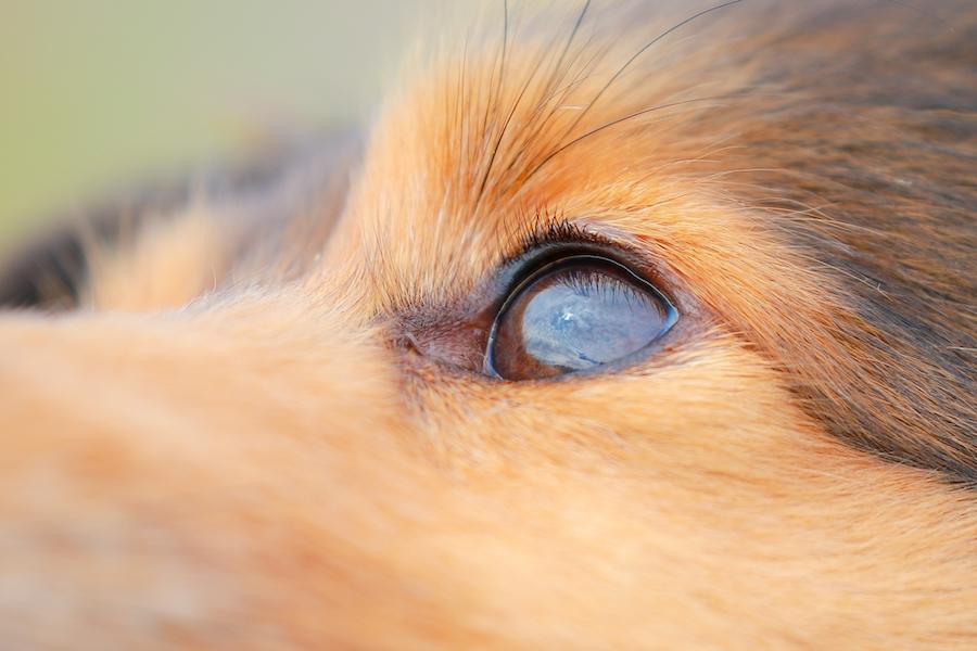 犬が目をしょぼしょぼさせる理由