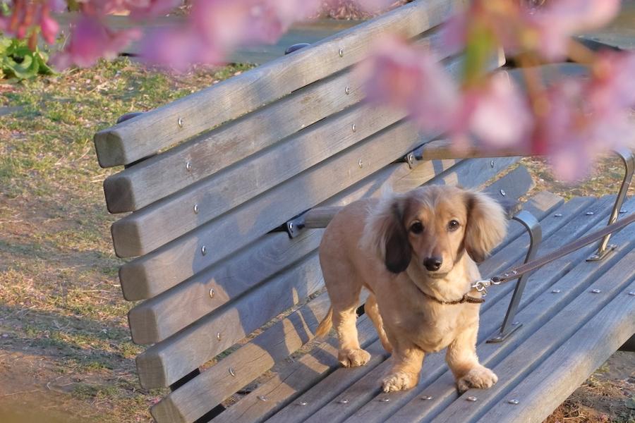 マナーを守って愛犬とお花見を楽しもう!