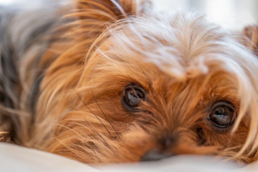 愛犬の目の健康をサプリメントでサポートしよう