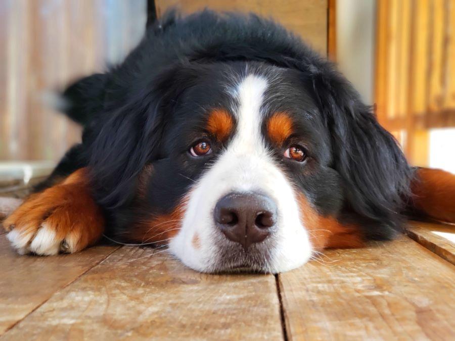 歯磨きができない犬の対処法
