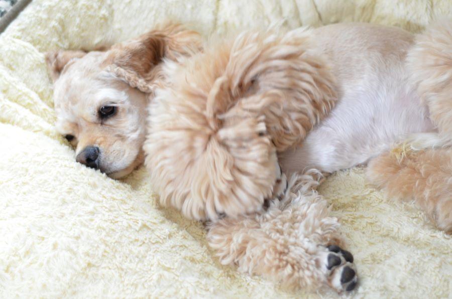 高齢犬(シニア犬)のケア【ご飯を食べない場合】
