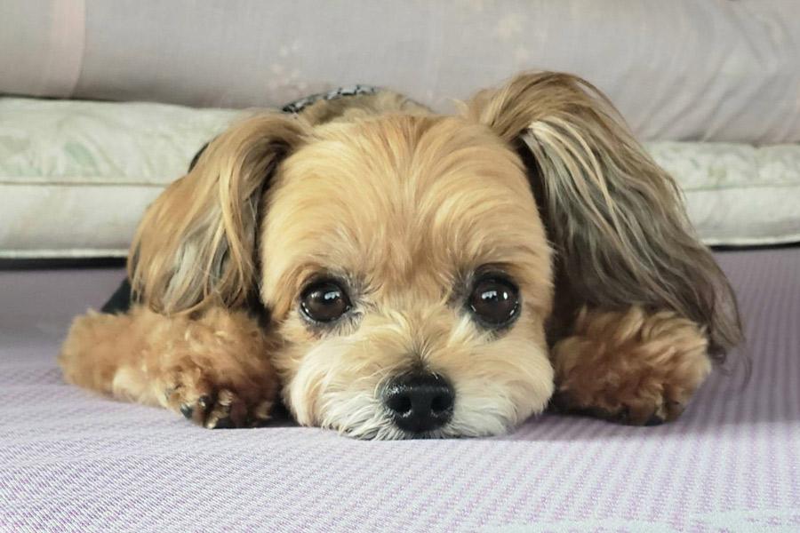 夜間に愛犬が体調不良を起こしたら?病気やケガの応急処置と対処法 DOGPAD ドッグパッド